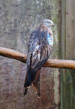 "Red Kite Blue Blue ""Damian"""