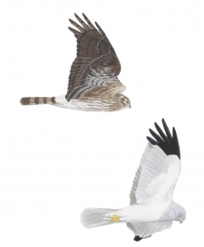 Hen Harrier pair