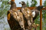 Kerry sea eagles get ready to fly