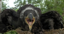 White-tailed eagle chick hatched in Clare