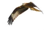 Red kite in flight, Fingal Co. Dublin
