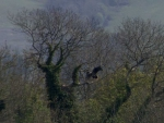 Sea Eagles nest for the first time in 100 years