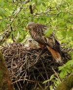 Kite nest with chick